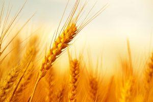 © iStock Für den Treibstoff nutzen die Forscherinnen und Forscher am Fraunhofer UMSICHT Bioethanol aus Weizenstroh.